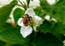 Bee on Flower. A bee gets pollen from a flower Stock Images
