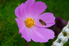 Bee on the flower. A bee going to landing on a flower stock photography