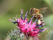 Bee on flower of greater burdock Royalty Free Stock Photos