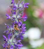 Bee on a Flower. A bee hanging onto a stem of purple flowers Royalty Free Stock Image