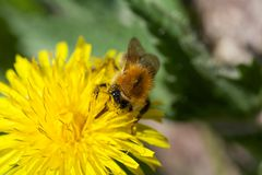 Bee on a Flower. A bee harvesting a flower Stock Images