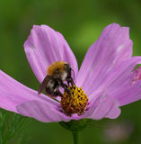 Bee. On flower hoard pollen spring royalty free stock photos