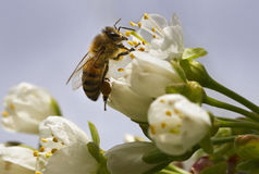 Bee on the flower. Stock Images