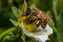 Bee on flower. Honey bee on flower collecting pollen Stock Photos