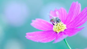 Bee and flower royalty free stock photo