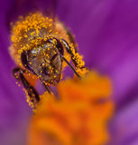 Bee in flower. Honey bee collects pollen on a flower Stock Photos