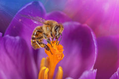 Bee in flower. Honey bee collects pollen on a flower Royalty Free Stock Photo