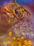 Bee in flower. Honey bee collects pollen on a flower Stock Photography