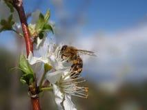 Bee on flower Stock Image