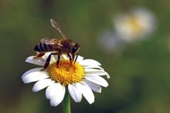 Bee on flower. A honey bee on a wild flower gathering pollen and nectar stock photos