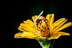 Bee on flower. Honey bee on yellow flower Stock Photo
