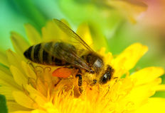 Bee on flower. Honey bee on yellow flower collecting pollen Stock Photos