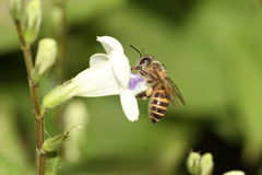 Bee on flower. Honey bee on yellow flower collecting pollen Royalty Free Stock Photos