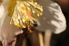 Bee on flower. Honeybee on a flower in spring Stock Photography