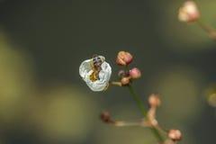 Bee into a flower Stock Photos