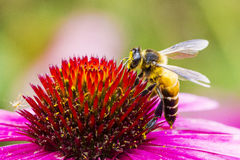 A bee and flower. A bee keeper and red flower royalty free stock image