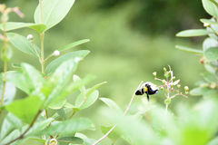 Bee on a flower and leaves Stock Images