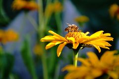 Bee and flower. Little bee chose this flower to collect pollen stock photos