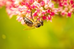 Bee on flower of livelong Royalty Free Stock Images