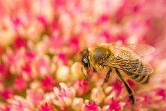 Bee on flower of livelong Royalty Free Stock Image