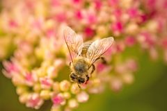 Bee on flower of livelong Stock Photography