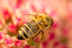 Bee on flower of livelong Stock Images