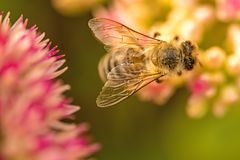 Bee on flower of livelong Stock Photos