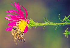 Bee in flower looking for food Stock Image