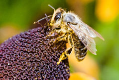 Bee on the flower in macro Stock Images