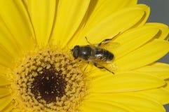 Bee and flower macro Stock Image