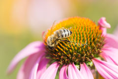 Bee on the flower Royalty Free Stock Images