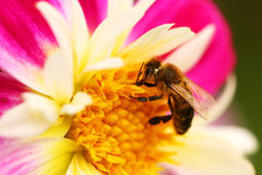 Bee on flower macro Royalty Free Stock Photography