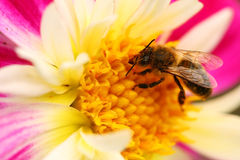 Bee on flower macro Stock Photography
