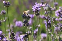 Bee on flower, macro. Stock Image