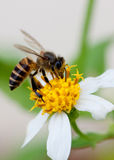 Bee on the flower. Stock Photography