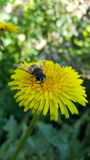 Bee on flower. A macro about wasp while collecting food Royalty Free Stock Photo