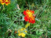 Bee on the flower of marigold in the autumn garden. stock photo