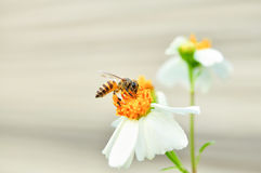 Bee and flower. In nature Stock Photography