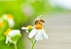 Bee and flower. In nature Royalty Free Stock Image