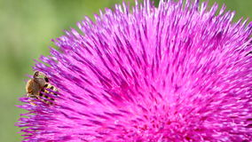 Bee on flower nature background stock video footage