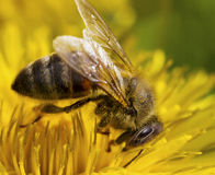 Bee on the flower. Royalty Free Stock Images