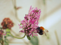 Bee in flower Royalty Free Stock Photography