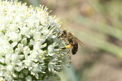 Bee on the flower onion Stock Images