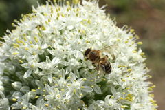 Bee on the flower onion Royalty Free Stock Photo