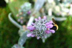 Bee on flower. Out of focus bee on purple and sage colored flower stock stock photo
