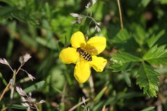 Bee on Flower Out of Seward Alaska. This is a photo of a bee on a flower taken around Seward, Alaska while I was on vacation August 2016 Stock Photo