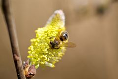 Bee on a Flower. This photo shows a honey bee harvesting on a bloom Stock Images