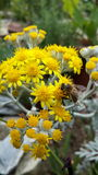 Bee on flower. Photo taken by me. Bee is sitting on yellow flower royalty free stock images