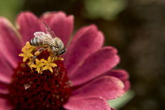 Bee in Flower. Picture of a bee in a flower royalty free stock images