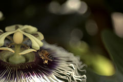Bee in a flower. Picture of a bee flying in a flower royalty free stock image